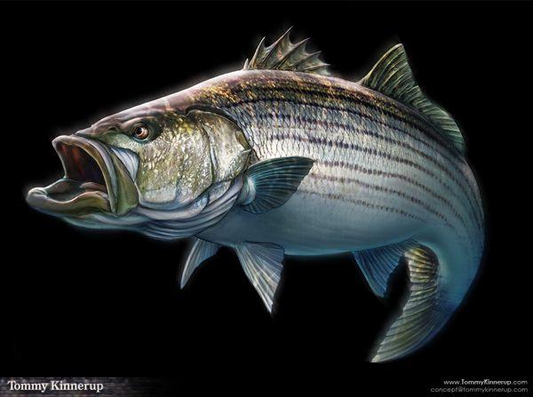 1000 images about on pinterest minnesota bass for Bass fishing art
