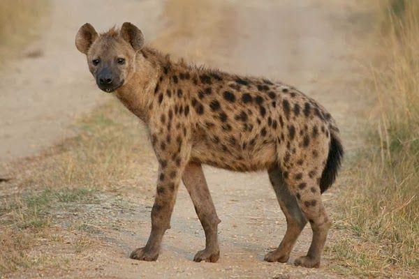 Hiena manchada Pocas criaturas resultan tan temibles como las hienas. Sin embargo, ni son tan carroñeras ni tan despiadadas como las pintan. Todo lo contario. Nuevos estudios han puesto de manifiesto su magnifica organización social, la anatomía increíble de sus hembras y su potente cerebro, que las convierten en uno de los animales más inteligentes de la sabana.