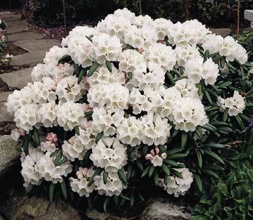 dwarf rhododendron white
