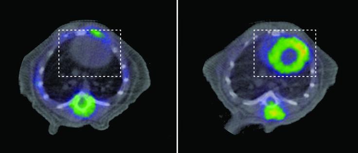 Un defecto en las mitocondrias del corazón causa muerte prematura / Noticias / SINC