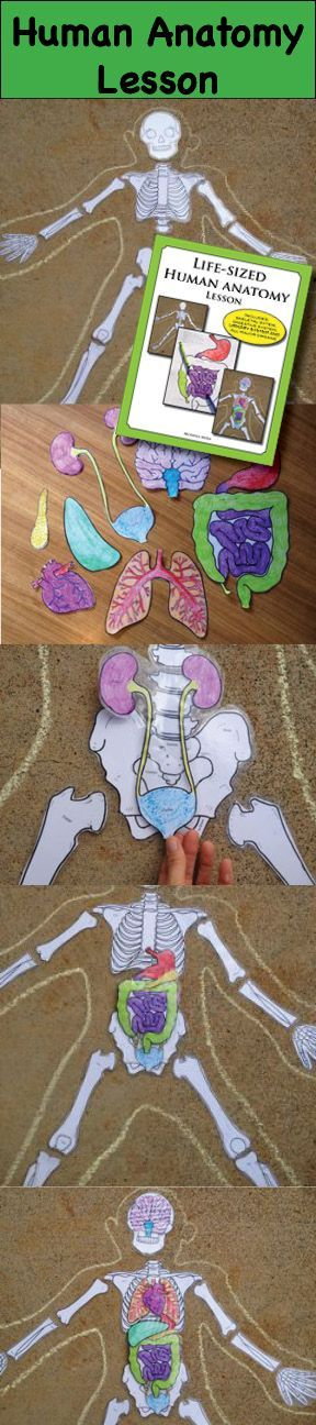 Life size anatomy lesson for kids, trace your kids, build a skeleton, color and cut out organs, learn about the digestive system.