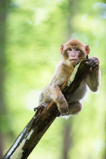 Monkey fatörzs