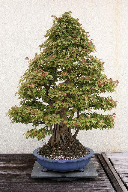 Trident Maple (Acer buergerianum) | Flickr - Photo Sharing!