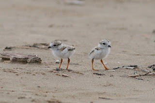 Nature Canada Blog: 2 #pipingplover nests have hatched at Sauble Beach, Ont.