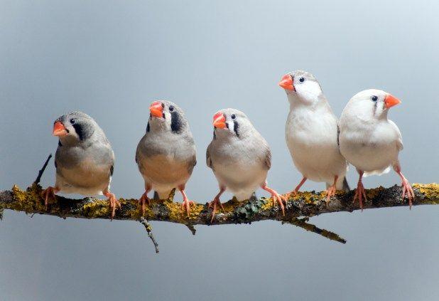 الزيبرا تعرف على أشهر أنواع عصافير الاستيريلديد تربية انتاج طفرات موضوع شامل طيور العرب Types Of Pet Birds Pet Birds Low Maintenance Pets