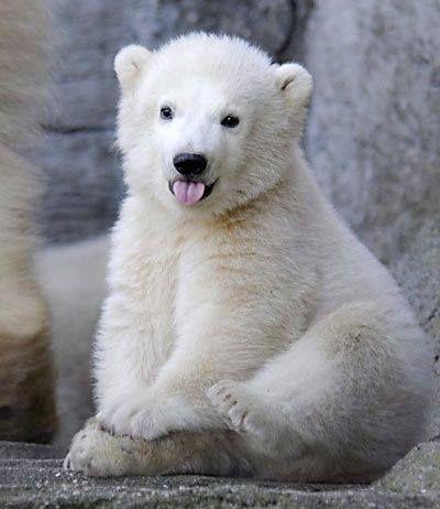 lolcuteanimals:  Adorable baby polar bear sticking his tongue out.