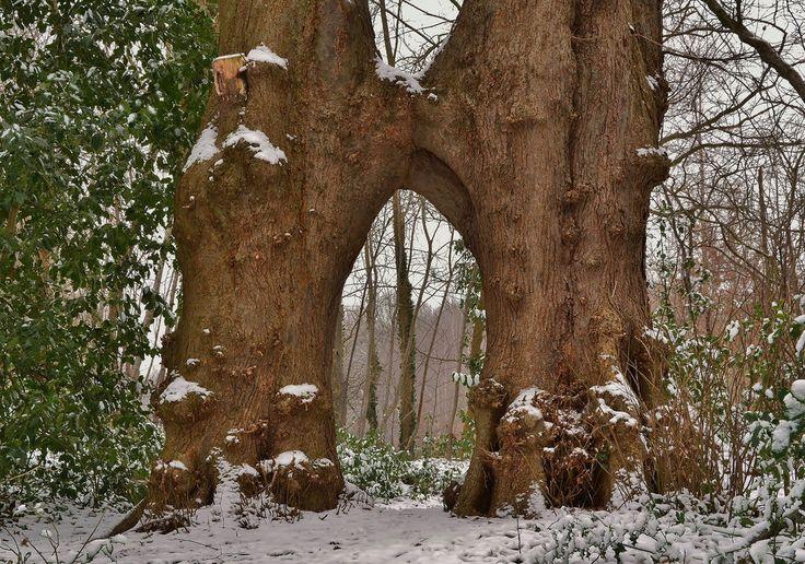henkmulder887 posted a photo:  Deze twee grappig vergroeide Lindebomen staan op / over het Domineespaadje in Havelte (Drenthe).  Als je in gedachten een wens in het poortje doet, komt tie écht uit !!  Gistermiddag nog even de proef op de som genomen, en ..... je raadt het al: het werkt !!!!!
