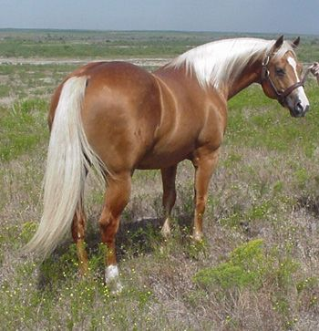 OMG!! Looks just like Pete! The Palomino I rode as a kid!! He was an awesomely magical horse!!