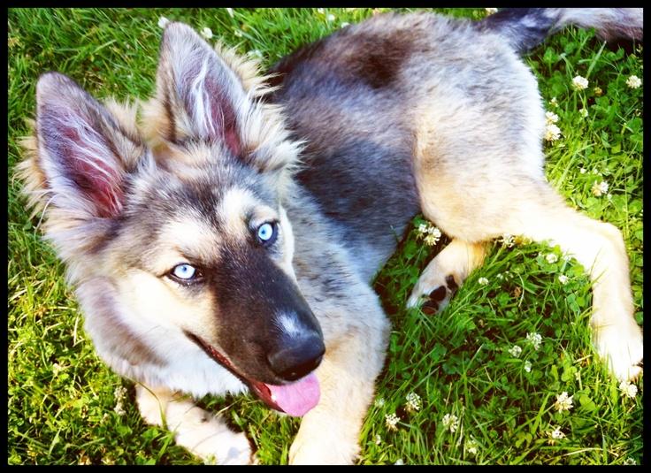 Amber at 8 months! German Shepherd Siberian Husky mix