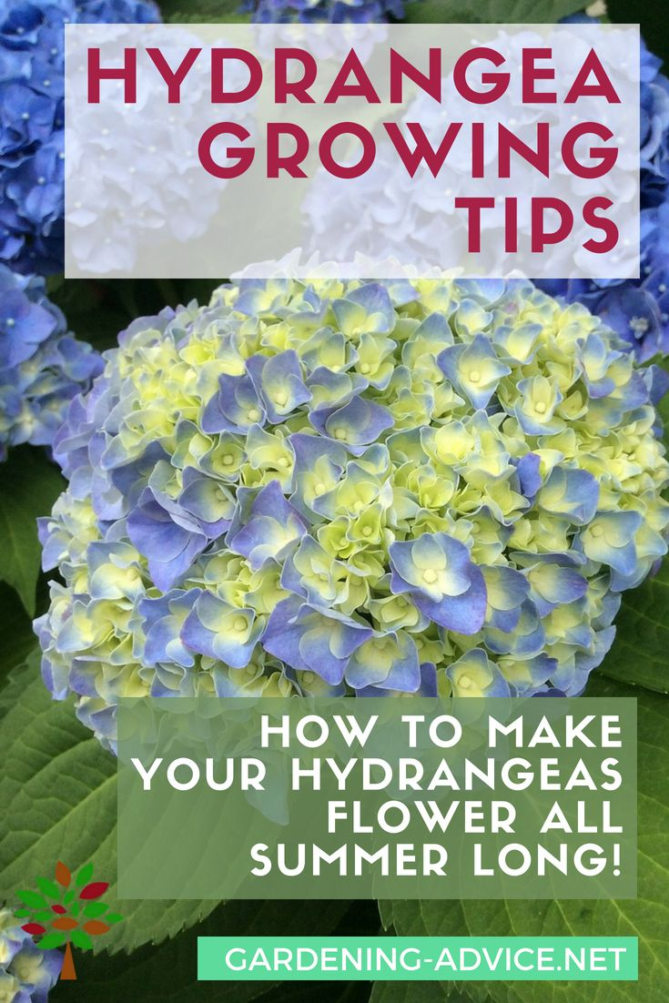 Growing Hydrangeas Care Tips For Flowers All Summer Growing Hydrangeas Hydrangea Care Hydrangea Garden
