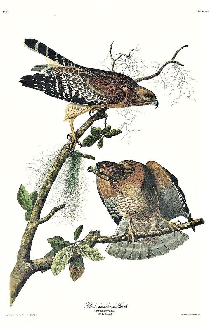 Special offer - Red-shouldered Hawk