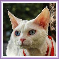 Питомник девон рексов DEVONLAND: Ищем семью для взрослого белоснежного котика Клифф...