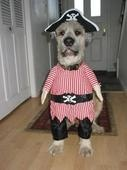 OYH Matey: Funny Dogs, Dogs Costumes, Pirate Dogs, Dogs Halloween Costumes, Pet Costumes, Funnydogs, Pirates Costumes, Halloweencostum, Animal