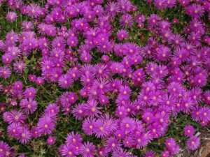 Delosperma cooperi - 100's of pink blooms on drought tolerant ground cover for sun! Perfect with Sedums, Gaillardias, and KnockOut Roses