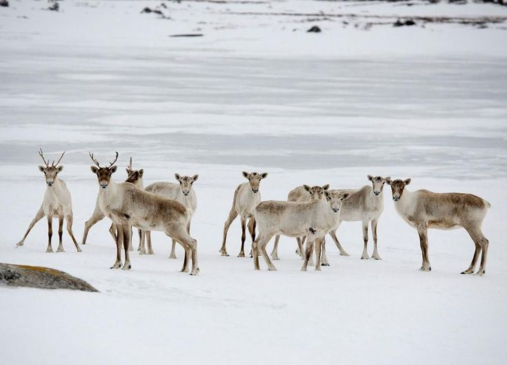 Caribou were placed on the Island in the mid-twentieth century and continue to roam and thrive.