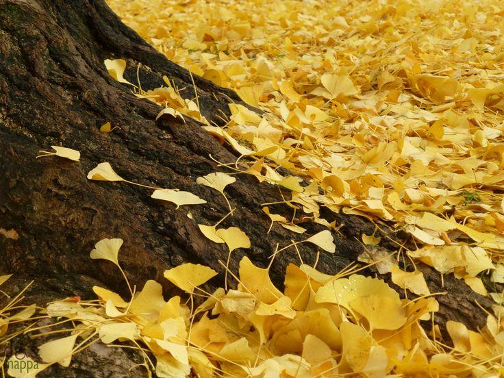 ginkgo festival | Il tappeto giallo del ginkgo biloba in Piazza Indipendenza | disMappa ...