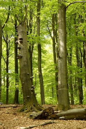 Beech in the Söderåsens Nationalpark, Skåne, Sweden