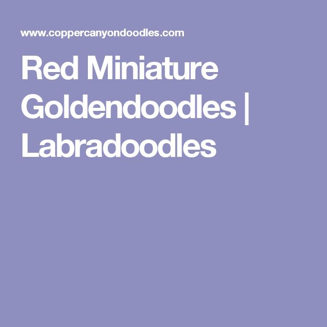 Red Miniature Goldendoodles   Labradoodles