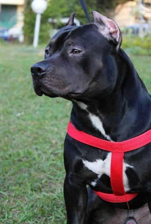 #pitbull #dog Black Staff | Animals | Pinterest | Beauty