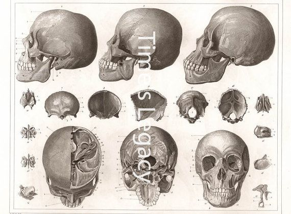 Anatomy of the Bones of the Head 1850 Vintage by TimesLegacy