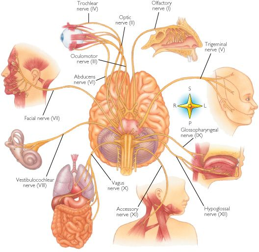 Cranial nerves: I. OLFACTORY = smell.  2. OPTIC = vision.  3. OCULOMOTOR = pupil constriction.  4. TROCHLEAR = eye movements, (down & in).  5. TRIGEMINAL = blink reflex.  6. ABDUCENS = eye movement, (outward).  7. FACIAL = smiling.  8. ACOUSTIC = hearing & balance  9. GLOSSOPHARYNGEAL = swallowing  10. VAGUS = gagging & swallowing  11. SPINAL ACCESSORY = shoulder shrug  12. HYPOGLOSSAL = tongue movement