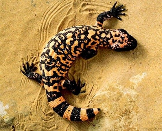 gila monster. Monster perhaps but beautiful.  I had a baby Gila literally blow up onto my porch during a desert sandstorm. I tried to keep him, but my mom shot down the idea.