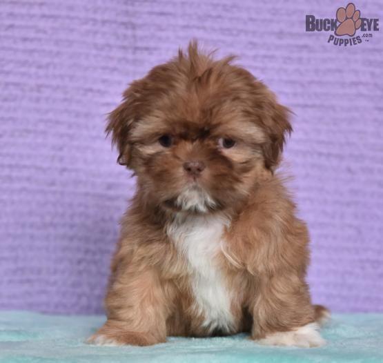 Elf Shih Tzu Puppy For Sale In East Earl Pa Shih Tzu Puppy