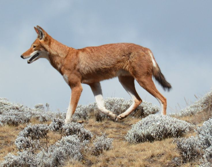 Canis simensis Bale Mountains National Park 8 cropped - Äthiopischer Wolf – Wikipedia