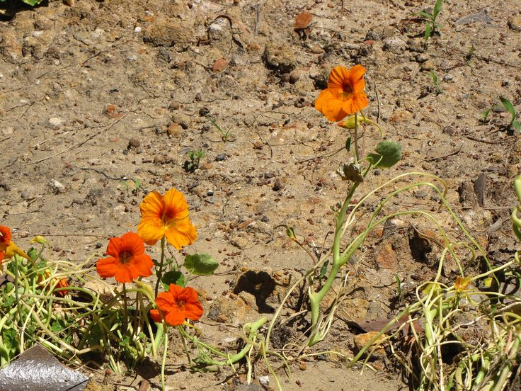 By Heather Rhoades If you live in a sandy area, you know that it can be difficult to grow plants in sand. Water runs out of sandy soil quickly and it can be hard for sandy soil to retain the nutrients that plants need to thrive. Sandy soil amendments can help improve sandy soil so…
