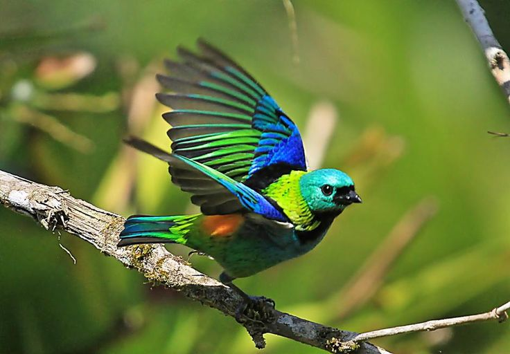 The Green-headed Tanager (Tangara seledon) is a bird found in Atlantic forest in south-eastern Brazil, far eastern Paraguay and far north-eastern Argentina (Misiones only). As other members of the genus Tangara, it is a small colorful bird, measuring an average of 13.5 centimeters (5.3 in). While essentially a bird of humid forests, it is also common in orchards and parks