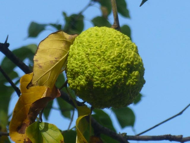Osage Orange Fruit (Maclura pomifera)  The fruit has a pleasant and mild odor, but is inedible for the most part. Although it is not strongly poisonous, eating it may cause vomiting. However, the seeds of the fruit are edible.   The fruit was once used to repel spiders by placing one under the bed. Various studies have found elemol, an extract of Osage orange, to repel several species of mosquitos, cockroaches, crickets, and ticks.