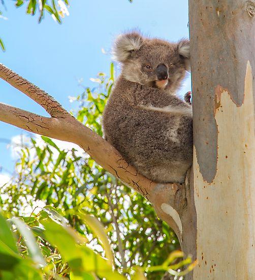 Winky the Koala by darkydoors