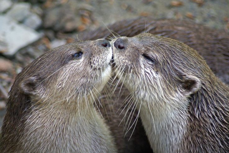 otter smooch: Otters Smooches, Animal Lovers, Happy, Otters Fabulous, Love Is, Adorable Things, Daily Otters, Kiss Otters, Sea Otters