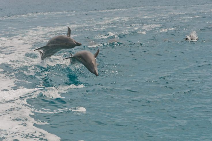 Dolphins jumping in the Gulf of California in Baja, Mexico