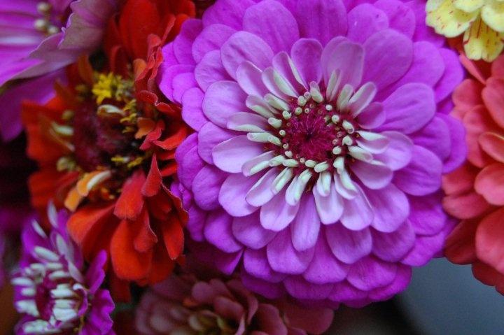I love zinnias: Zinnias, Photography