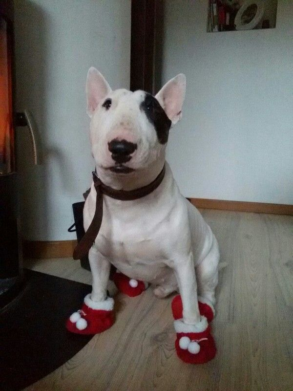 A bully in booties!!!!!
