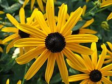 Rudbeckia fulgida - Wikipedia, the free encyclopedia
