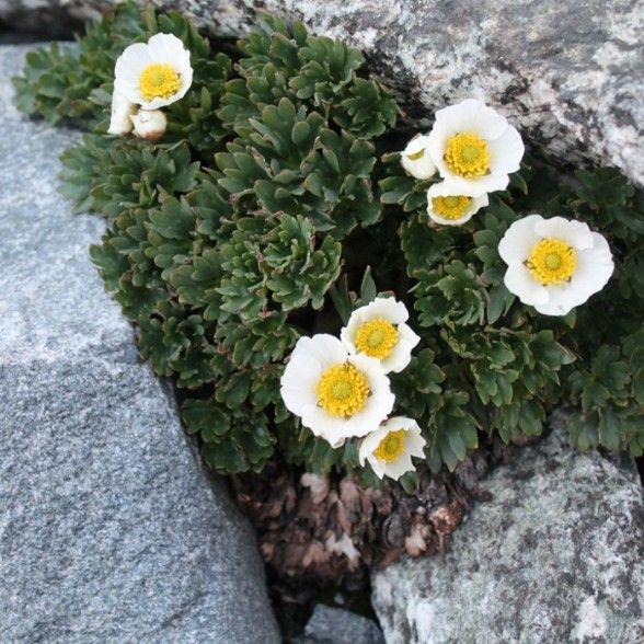 Ranuncolo glaciale, ranunculus glacialis famiglia delle ranuncolacee - flora spontanea