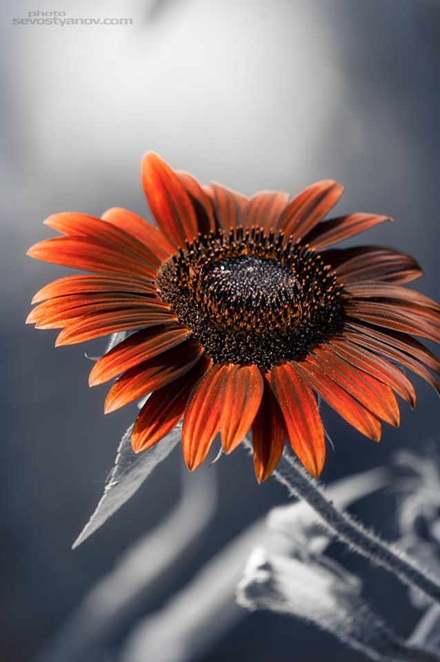 """Dark Sunflower Sunflower Close Up Photography Stylised in Dark Color. From """"Flowers"""" interior prints collection. #sunflower"""