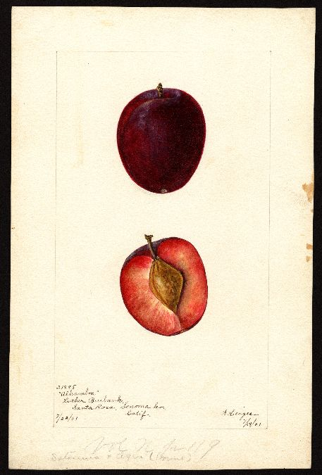 Artist: Heiges, Bertha Scientific name: Prunus domestica Common name: plums Variety: Alhambra Geographic origin: Santa Rosa, Sonoma County, California, United States Physical description: 1 art original : col. ; 16 x 25 cm. Specimen: 21895 Year: 1901