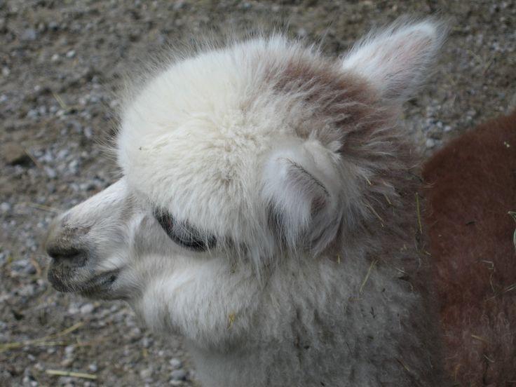 Alpaka no jardim zoológico Hellbrunn