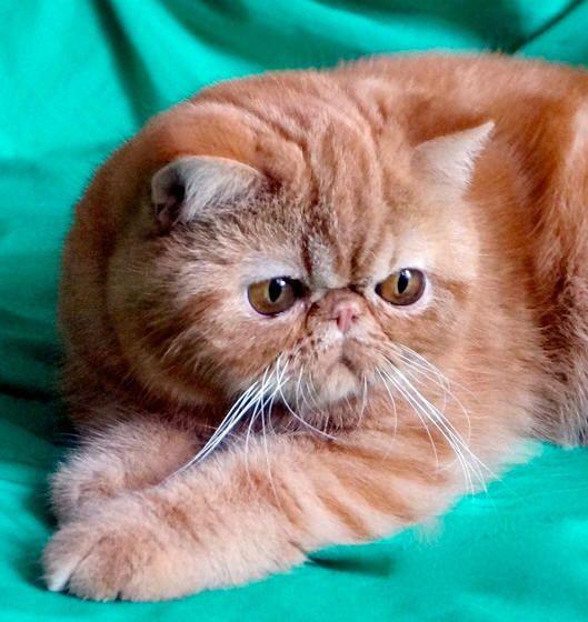 Scottish Fold Cats For Sale Az