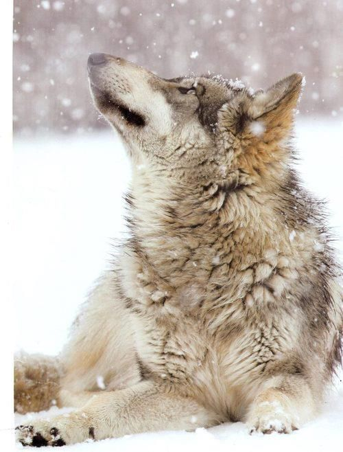 Encore une photographie venant de Monty Sloan. Ici le loup développe l'hiver un manteau d'une épaisse fourrure, une couche supérieur de long poils imperméables permet à l'animal de rester au sec et une sous-couche de poils,plus soyeuse,le tient chaud.