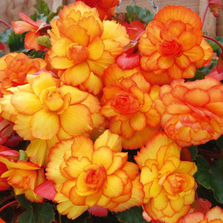 Flower bulbs Begonia Tubers 'Fireball'