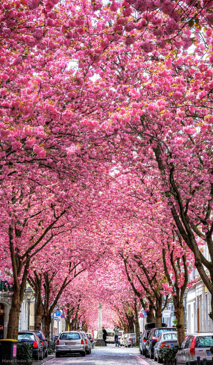 Cherry trees at Heerstreet, Bonn, Germany - Photography by Manuel Becker
