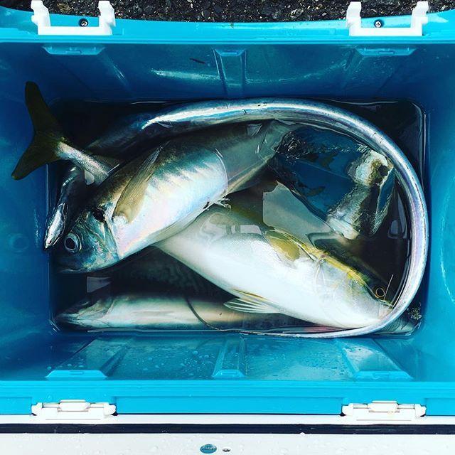 【marumatsu_maru】さんのInstagramをピンしています。 《11/15 ボート、キノシタさんイナダ、同じくらいのサイズの大アジ、タチウオ、サバを釣り上げご帰港しました。 釣り船 #釣り #海釣り #海 #釣果 #東京湾#まるまつ丸 #ボート #フィッシング #boat #yokosuka #yokohama #fishing #fish #angler #sea #ocean #横須賀 #黄金アジ》