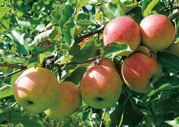 Cuando plantamos un árbol frutal que hemos comprado en maceta hemos de tomar unas pocas precauciones para tener éxito
