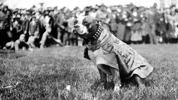 Stubby was a clever little guy, and could identify friend or foe based on the language they were speaking. He had a knack for finding wounded soldiers and alerting medics. He even caught a German spy snooping around Allied trenches. | Sergeant Stubby Will Change The Way You Look At Your Dog