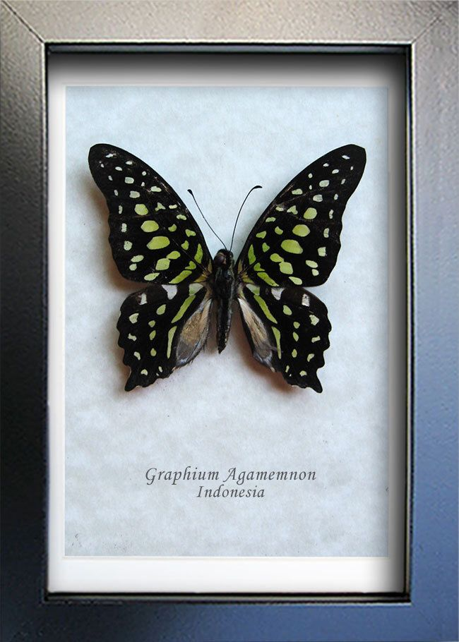 Green Spotted Triangle Graphium Agamemnon Real Butterfly Museum Quality In Shadowbox by ButterfliesArtist on Etsy https://www.etsy.com/listing/198973306/green-spotted-triangle-graphium