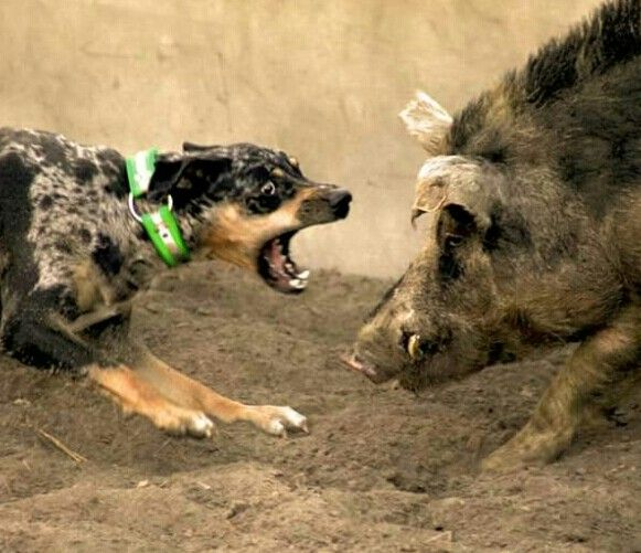 hog bay competition